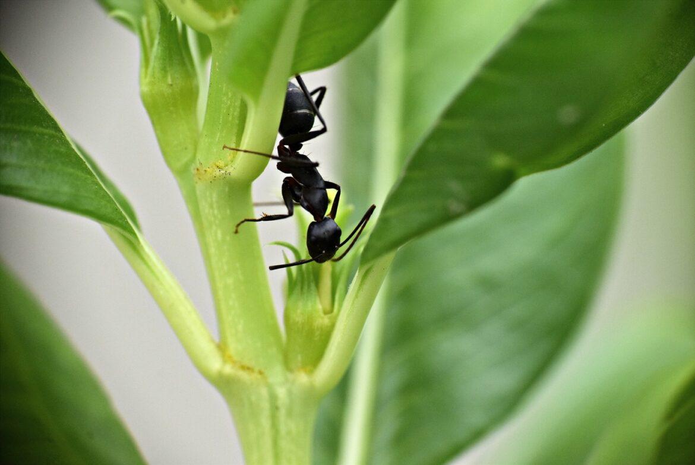 Quelles espèces de fourmis sont présentes en France ?