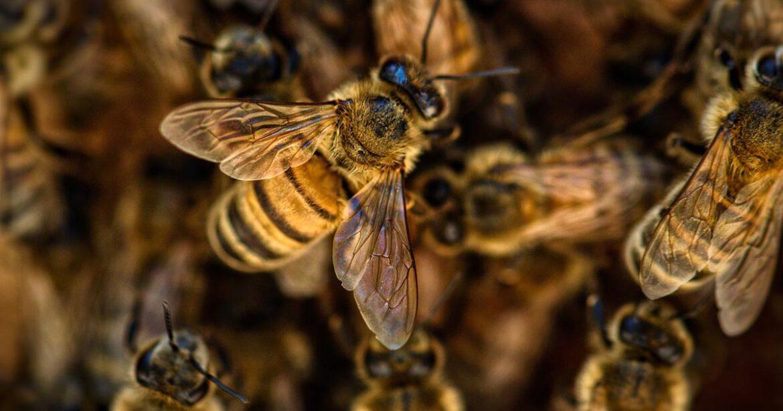 Comment traiter le varroa dévastateur des colonies d'abeilles?